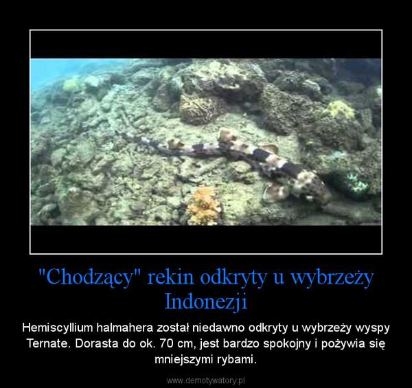 """""""Chodzący"""" rekin odkryty u wybrzeży Indonezji – Hemiscyllium halmahera został niedawno odkryty u wybrzeży wyspy Ternate. Dorasta do ok. 70 cm, jest bardzo spokojny i pożywia się mniejszymi rybami."""