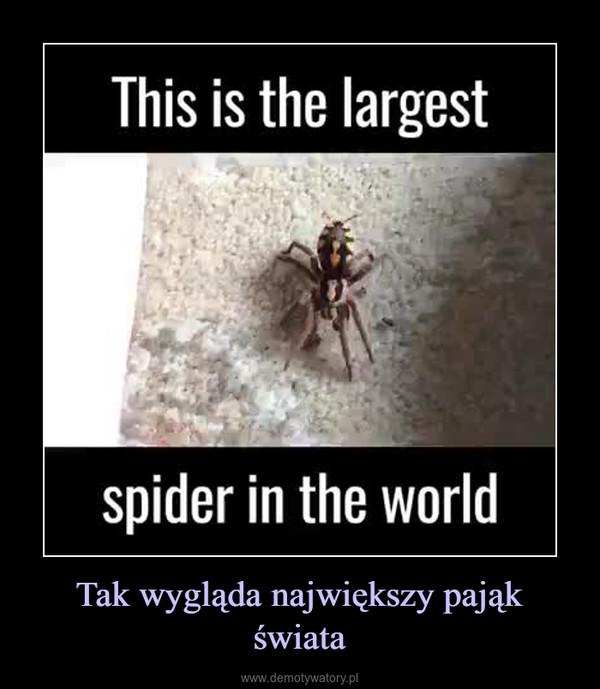 Tak wygląda największy pająk świata –
