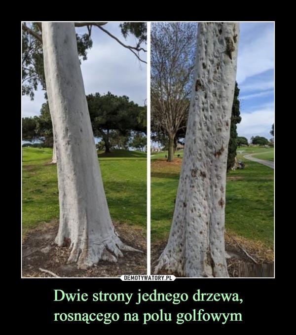 Dwie strony jednego drzewa,rosnącego na polu golfowym –