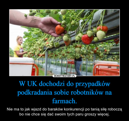 W UK dochodzi do przypadków podkradania sobie robotników na farmach.