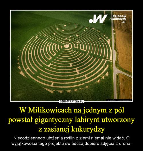 W Milikowicach na jednym z pól powstał gigantyczny labirynt utworzony z zasianej kukurydzy