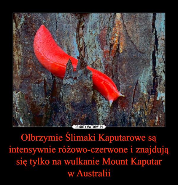 Olbrzymie Ślimaki Kaputarowe są intensywnie różowo-czerwone i znajdują się tylko na wulkanie Mount Kaputarw Australii –