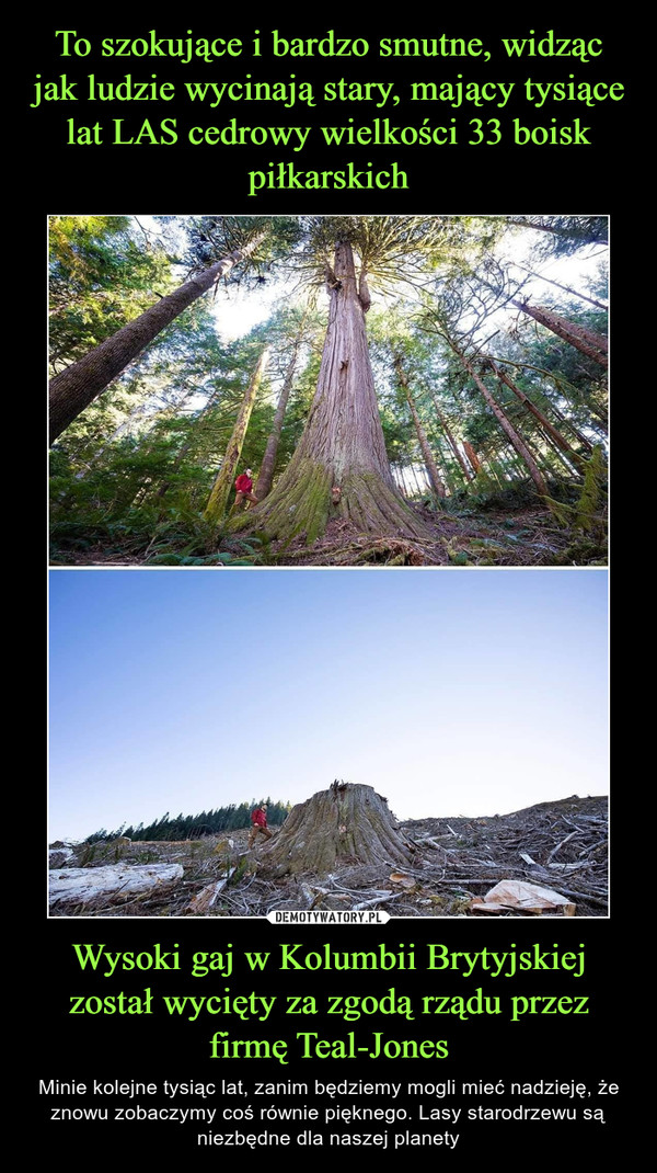 Wysoki gaj w Kolumbii Brytyjskiej został wycięty za zgodą rządu przez firmę Teal-Jones – Minie kolejne tysiąc lat, zanim będziemy mogli mieć nadzieję, że znowu zobaczymy coś równie pięknego. Lasy starodrzewu są niezbędne dla naszej planety