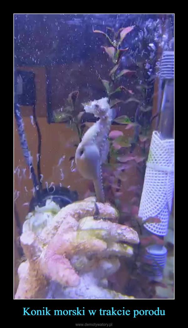 Konik morski w trakcie porodu –