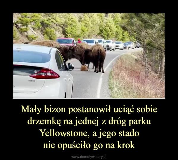 Mały bizon postanowił uciąć sobie drzemkę na jednej z dróg parku Yellowstone, a jego stadonie opuściło go na krok –