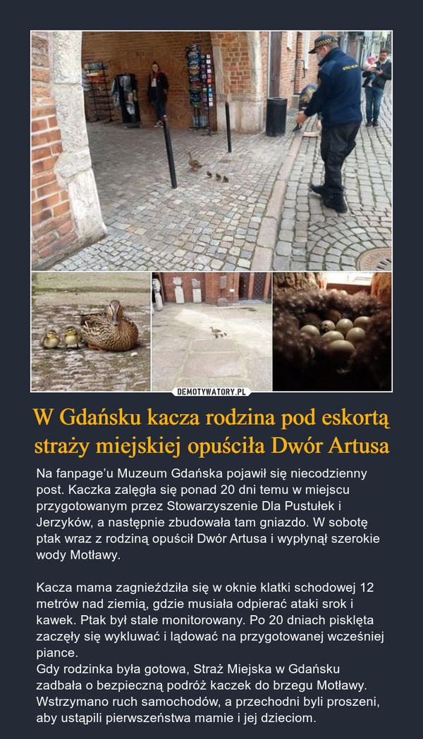 W Gdańsku kacza rodzina pod eskortą straży miejskiej opuściła Dwór Artusa – Na fanpage'u Muzeum Gdańska pojawił się niecodzienny post. Kaczka zalęgła się ponad 20 dni temu w miejscu przygotowanym przez Stowarzyszenie Dla Pustułek i Jerzyków, a następnie zbudowała tam gniazdo. W sobotę ptak wraz z rodziną opuścił Dwór Artusa i wypłynął szerokie wody Motławy. Kacza mama zagnieździła się w oknie klatki schodowej 12 metrów nad ziemią, gdzie musiała odpierać ataki srok i kawek. Ptak był stale monitorowany. Po 20 dniach pisklęta zaczęły się wykluwać i lądować na przygotowanej wcześniej piance. Gdy rodzinka była gotowa, Straż Miejska w Gdańsku zadbała o bezpieczną podróż kaczek do brzegu Motławy. Wstrzymano ruch samochodów, a przechodni byli proszeni, aby ustąpili pierwszeństwa mamie i jej dzieciom.