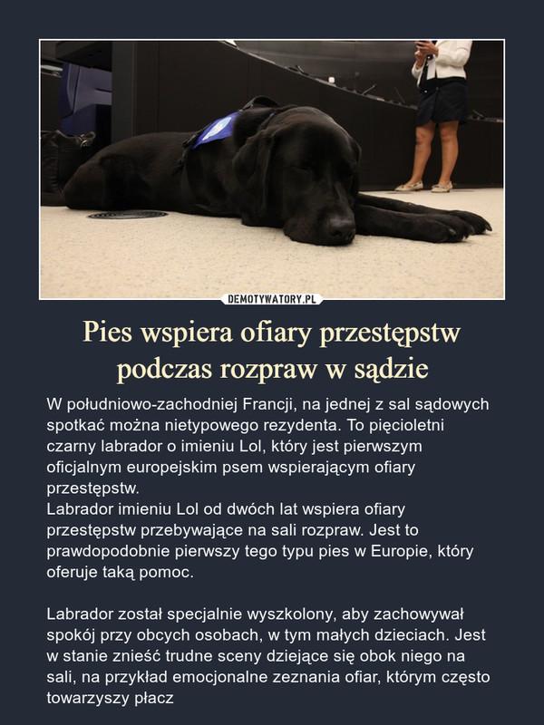 Pies wspiera ofiary przestępstwpodczas rozpraw w sądzie – W południowo-zachodniej Francji, na jednej z sal sądowych spotkać można nietypowego rezydenta. To pięcioletni czarny labrador o imieniu Lol, który jest pierwszym oficjalnym europejskim psem wspierającym ofiary przestępstw.Labrador imieniu Lol od dwóch lat wspiera ofiary przestępstw przebywające na sali rozpraw. Jest to prawdopodobnie pierwszy tego typu pies w Europie, który oferuje taką pomoc.Labrador został specjalnie wyszkolony, aby zachowywał spokój przy obcych osobach, w tym małych dzieciach. Jest w stanie znieść trudne sceny dziejące się obok niego na sali, na przykład emocjonalne zeznania ofiar, którym często towarzyszy płacz