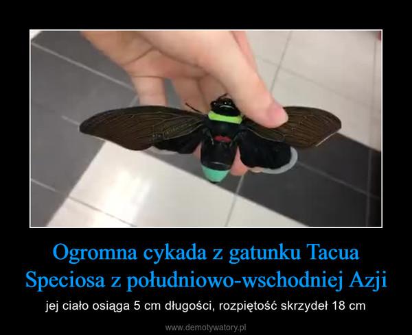 Ogromna cykada z gatunku Tacua Speciosa z południowo-wschodniej Azji – jej ciało osiąga 5 cm długości, rozpiętość skrzydeł 18 cm