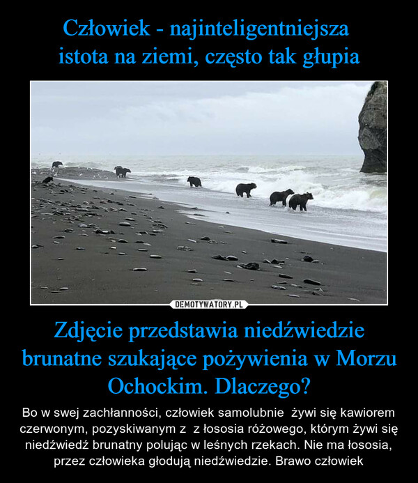 Zdjęcie przedstawia niedźwiedzie brunatne szukające pożywienia w Morzu Ochockim. Dlaczego? – Bo w swej zachłanności, człowiek samolubnie  żywi się kawiorem czerwonym, pozyskiwanym z  z łososia różowego, którym żywi się niedźwiedź brunatny polując w leśnych rzekach. Nie ma łososia, przez człowieka głodują niedźwiedzie. Brawo człowiek