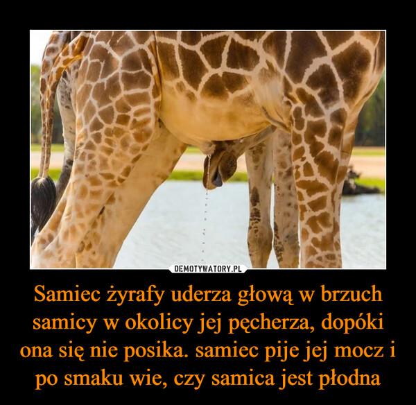 Samiec żyrafy uderza głową w brzuch samicy w okolicy jej pęcherza, dopóki ona się nie posika. samiec pije jej mocz i po smaku wie, czy samica jest płodna –