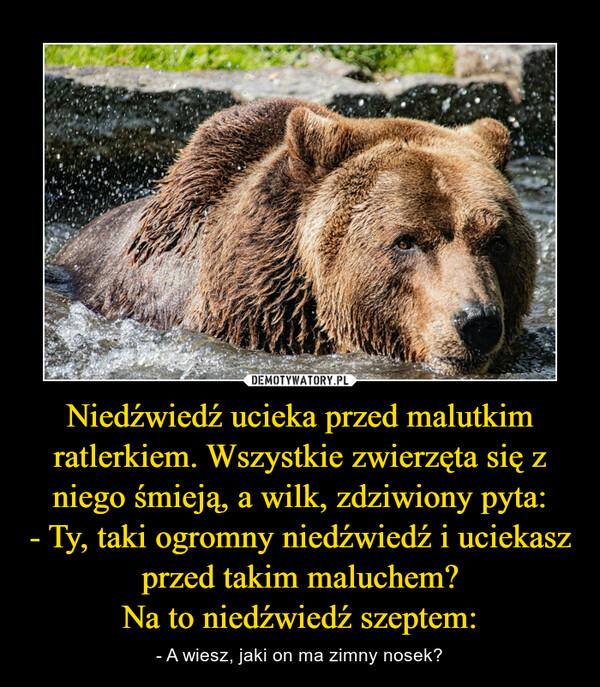 Niedźwiedź ucieka przed malutkim ratlerkiem. Wszystkie zwierzęta się z niego śmieją, a wilk, zdziwiony pyta:- Ty, taki ogromny niedźwiedź i uciekasz przed takim maluchem?Na to niedźwiedź szeptem: – - A wiesz, jaki on ma zimny nosek?