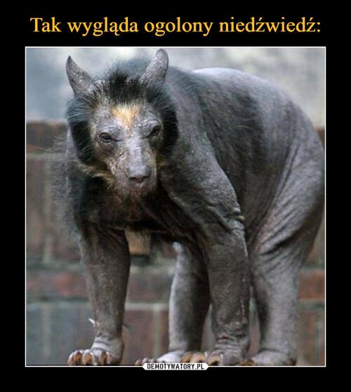 Tak wygląda ogolony niedźwiedź: